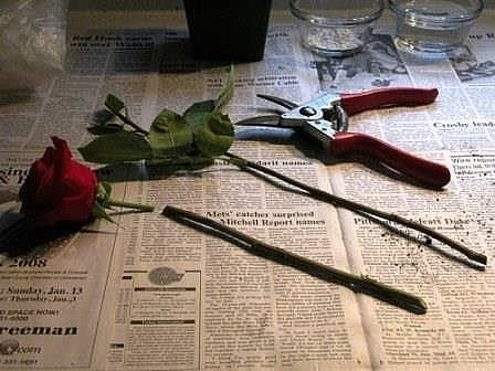 Супер-средство «Тройчатка» для проращивания роз