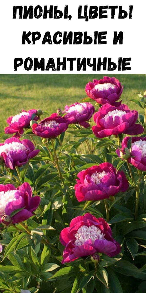 Пионы, цветы красивые и романтичные