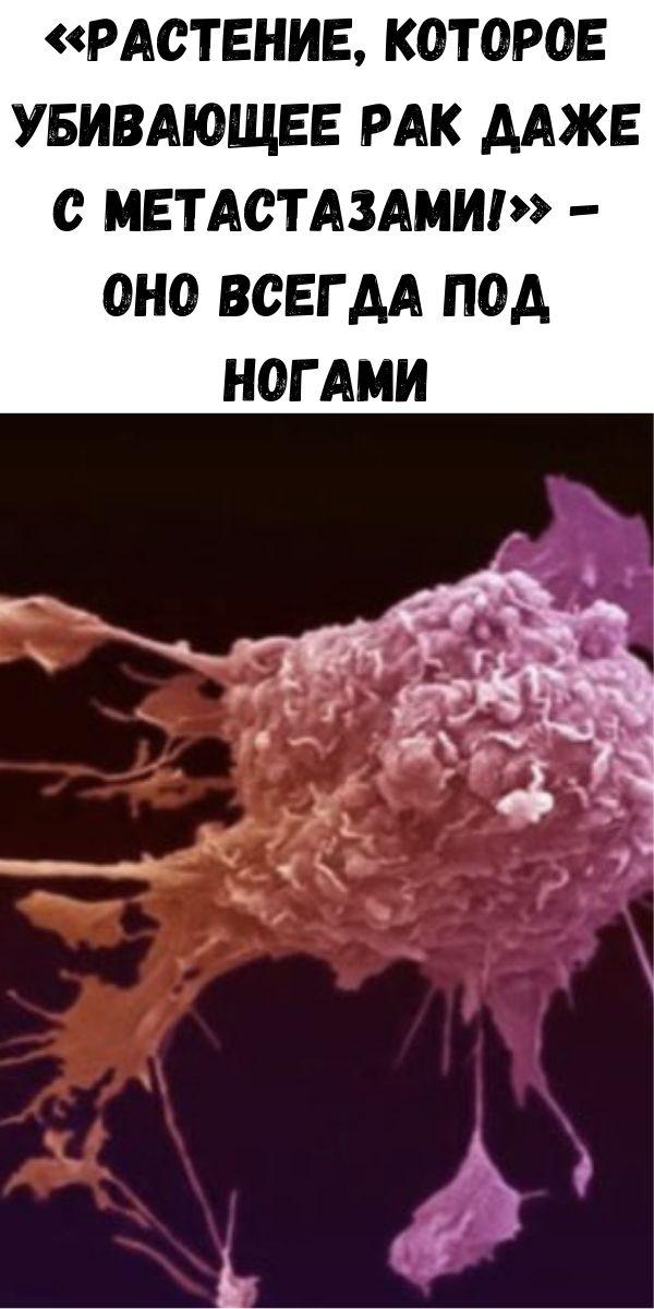 «Растение, которое убивающее рак даже с метастазами!» - Оно всегда под ногами