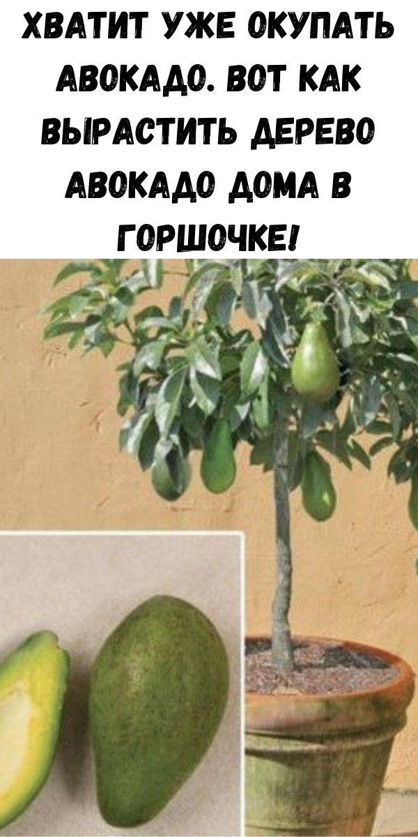 Хватит уже окупать авокадо. Вот как вырастить дерево авокадо дома в горшочке!