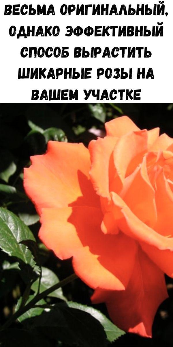 Весьма оригинальный, однако эффективный способ вырастить шикарные розы на вашем участке