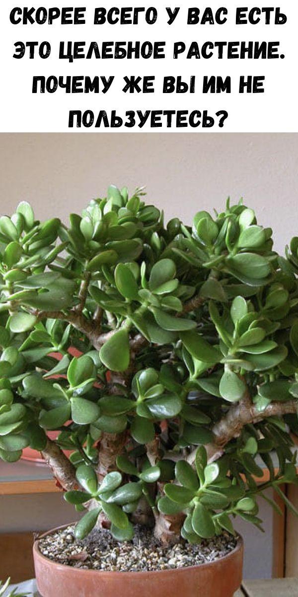 Скорее всего у вас есть это целебное растение. Почему же вы им не пользуетесь?