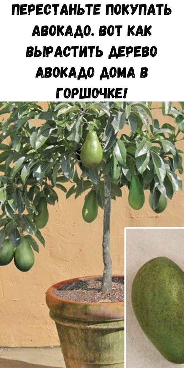 Перестаньте покупать авокадо. Вот как вырастить дерево авокадо дома в горшочке!